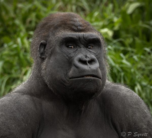 gorilla 1-2.jpg