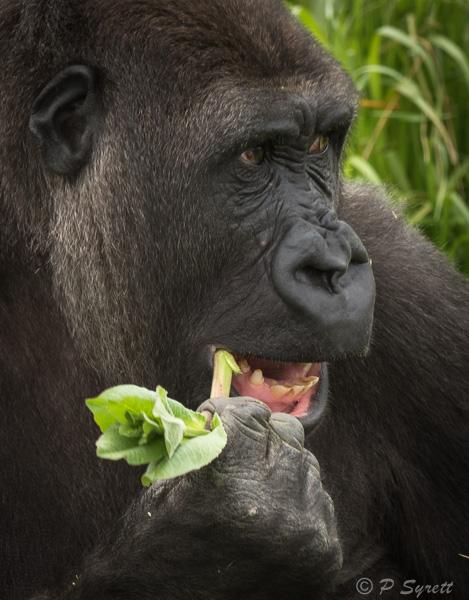 gorilla 1-3.jpg