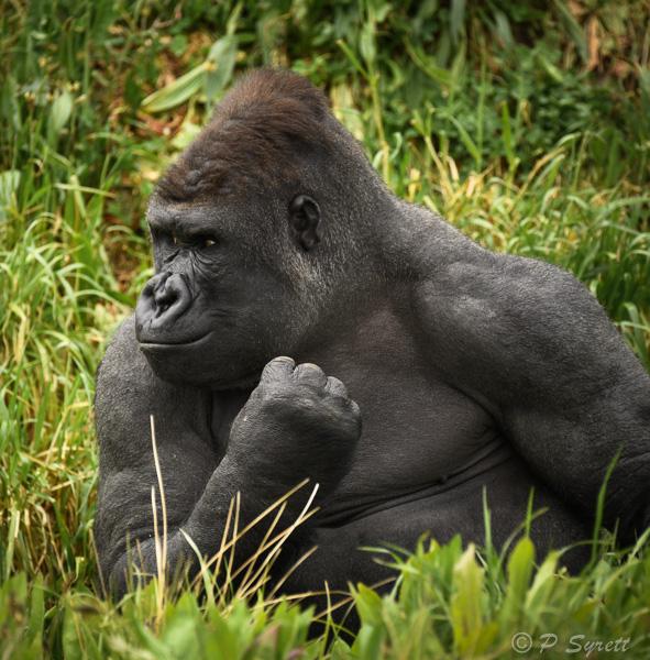 gorilla 1-4.jpg