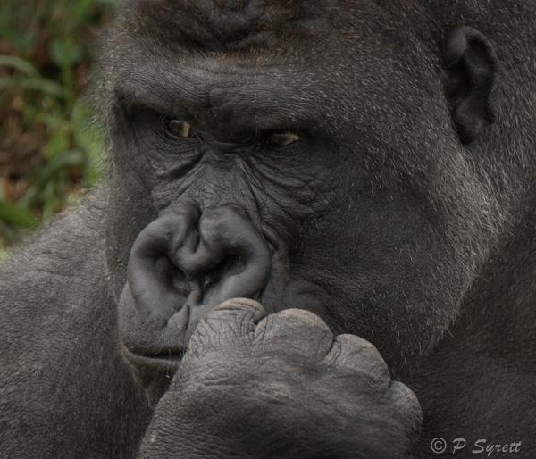 gorilla 1-5.jpg