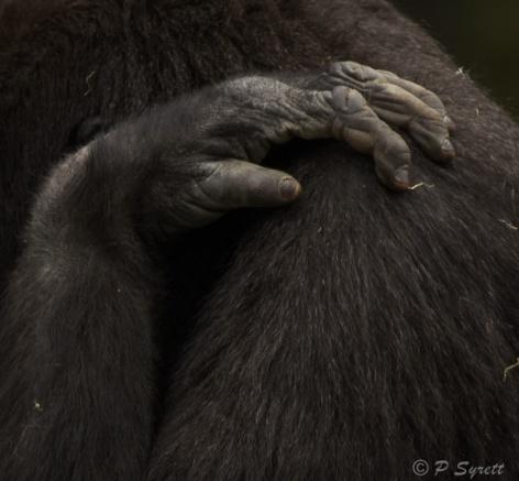 gorilla 1.jpg
