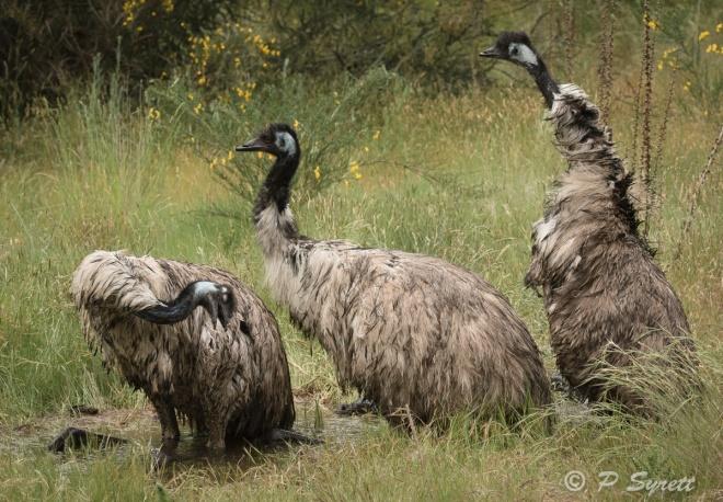 emu-3